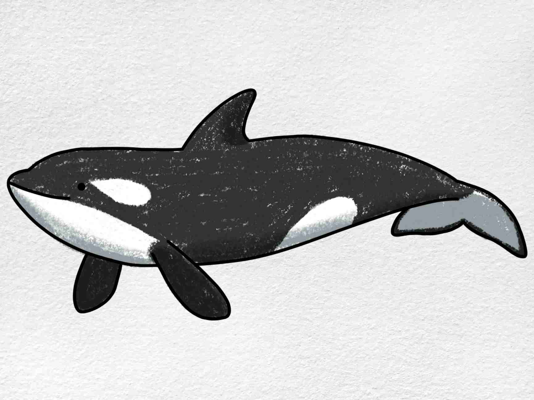 Killer Whale Drawing: Step 6
